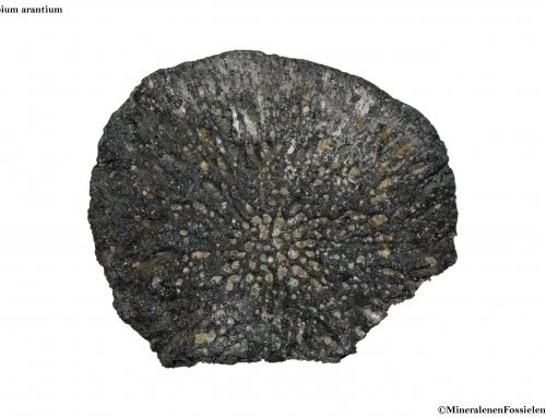 Fossiele Sponzen